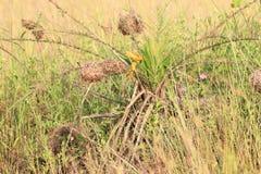 Orange vävare i Ghana Royaltyfri Fotografi
