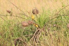 Orange vävare i Ghana Fotografering för Bildbyråer