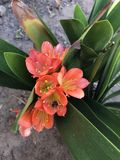 orange växt Royaltyfri Bild