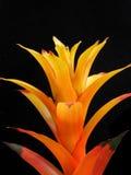 Orange växt för bromelia Arkivbild