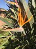 Orange växtblomma Fotografering för Bildbyråer