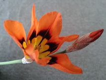 Orange vårblomma Royaltyfria Foton