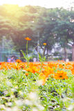 Orange vårblommor Royaltyfria Bilder