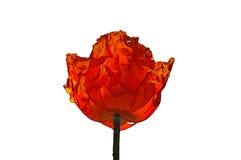 orange vallmo Royaltyfri Illustrationer