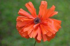 orange vallmo Arkivfoto