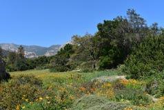 Orange vallmo i en äng på grunden av Kalifornien utlöpare arkivfoton