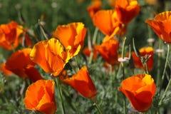 Orange vallmo i ett fält Arkivbilder