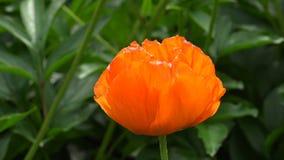 orange vallmo 4K arkivfilmer