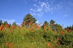 orange vallmor Royaltyfri Fotografi