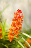 Orange vanda orchid flower. Beautiful orchid. pattern of vanda orchid Royalty Free Stock Photography