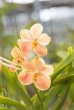 Orange vanda orchid flower hanging in plant nursery. Stock Images