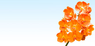 Orange vanda orchid. Isolated on blue Stock Photo
