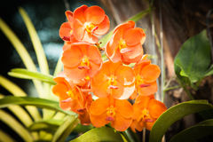 Orange vanda orchid. In natural light Royalty Free Stock Photo
