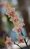 Orange vanda orkidé med bokehbakgrund Arkivbilder