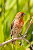 Orange Variant of House Finch. Full Body Front View of Adult Male, Orange Variant, House Finch Perched on Tree Branch Stock Image