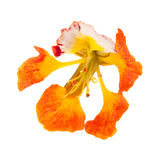 Orange variety of delonix regia, famboyant tree Stock Images