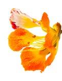 Orange variety of delonix regia, famboyant tree Royalty Free Stock Images