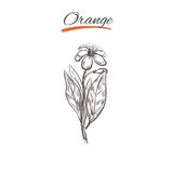 Orange. Vector collection in sketch style. Isolated objects. Natural herbs and flowers. Stock Image