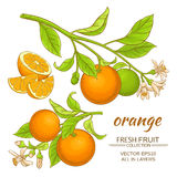 Orange vector set. Orange branches vector set on white background Stock Image