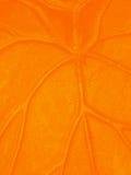 Orange veins Stock Image