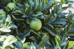 Orange verte fraîche sur l'arbre Verger orange de jardin au soleil photographie stock
