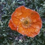 Orange verwelkende Mohnblume Lizenzfreies Stockbild