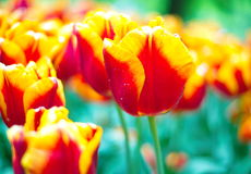 Orange vibrant tulip flower in spring Royalty Free Stock Photos