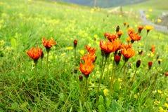 Orange vildblommafält Royaltyfri Foto