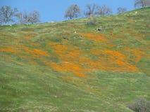 Orange vildblommor som fördelar över en äng Arkivfoton