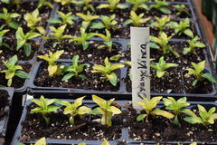 Orange Vinca Seedlings icke-blomning Royaltyfri Bild
