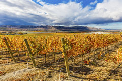 Orange Vines Grapes Fall Vineyards Red Mountain Benton City Washington Stock Photo