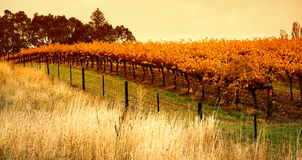 Orange Vineyard. In the Barossa Valley stock images