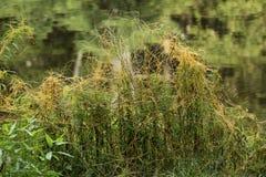 Orange vinrankor av darrar, en parasitisk växt, i Vernon, Connecticu royaltyfria bilder