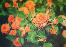 Orange Vintage Rose Stock Photos