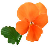 Orange viola flower Stock Photo