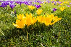 Orange and violet crocuses in spring in the park royalty free stock image
