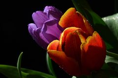 Orange and violet fresh wet tulip flowers on black background, green leaves visible. Photographed in morning spring sun Stock Photography