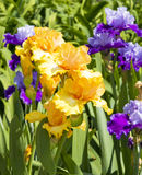 Orange and violet irises Royalty Free Stock Images