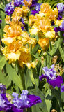 Orange and violet irises Stock Photos