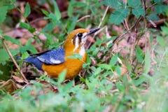Orange vorangegangene Drossel auf dem Boden Lizenzfreie Stockfotografie