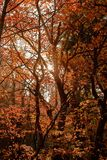Orange Wald Stockfotografie