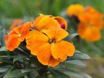 Orange wallflower detail. Spring garden flower. Stock Photo