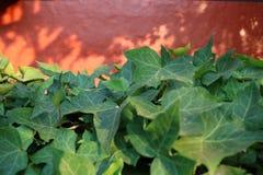 Orange Wand des Efeus lizenzfreie stockbilder