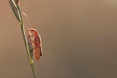 Orange Wanze auf dem Gras-Stiel lizenzfreie stockfotografie