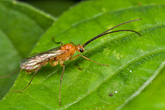 An orange wasp on green leaf Stock Photos