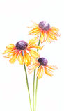 Orange watercolor helenium flowers on white background vertical Royalty Free Stock Photography