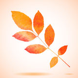 Orange watercolor painted ash tree leaf Royalty Free Stock Images