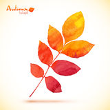 Orange watercolor painted vector rowan leaf Royalty Free Stock Images