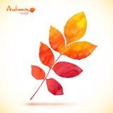 Orange watercolor painted vector rowan leaf Royalty Free Stock Images
