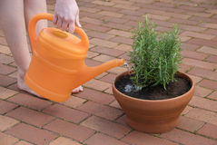 Orange watering Royalty Free Stock Image